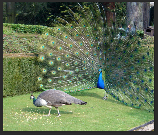 Photograph of a male and female peacock.
